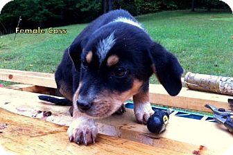 Retriever (Unknown Type) Mix Puppy for adoption in Danbury, Connecticut - Cass aka Barker