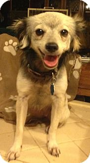 Papillon Mix Puppy for adoption in Houston, Texas - Summer
