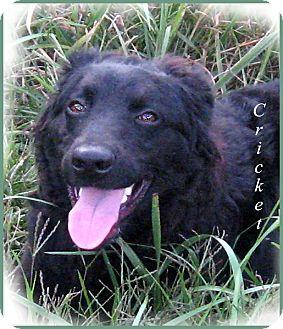 Golden Retriever/Labrador Retriever Mix Puppy for adoption in Marlborough, Massachusetts - Cricket-I want a home for Xmas