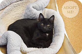 Domestic Shorthair Kitten for adoption in Brookings, South Dakota - Rumpelstiltskin