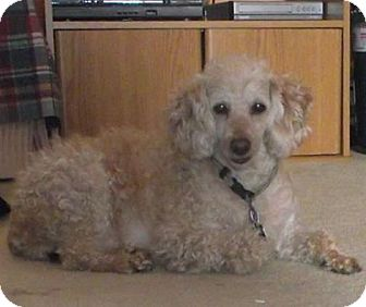 Poodle (Miniature) Dog for adoption in Marysville, Ohio - Buttons