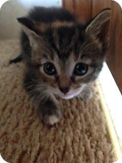 Domestic Shorthair Kitten for adoption in Ortonville, Michigan - Carrot Top