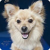 Adopt A Pet :: Zuzu - Rancho Mirage, CA