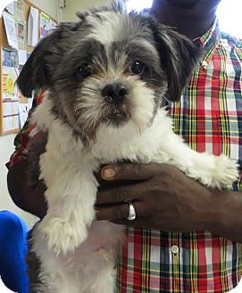 Shih Tzu Puppy for adoption in Middletown, New York - Prince Alex