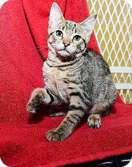 Domestic Shorthair Kitten for adoption in New York, New York - Cindy