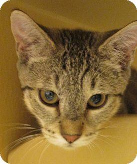 Domestic Shorthair Kitten for adoption in Pueblo West, Colorado - Mirta