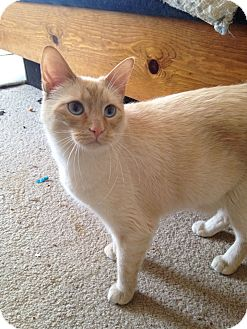 Siamese Cat for adoption in St. Louis, Missouri - Crosby