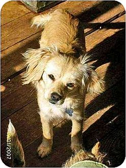 Cocker Spaniel/Cavalier King Charles Spaniel Mix Dog for adoption in Rutherfordton, North Carolina - Nalu