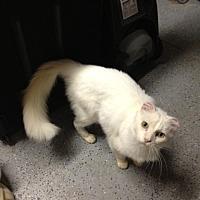 Domestic Mediumhair Cat for adoption in San Jose, California - Duke