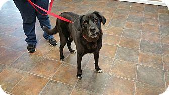 Labrador Retriever Mix Dog for adoption in Lisbon, Ohio - Isidora