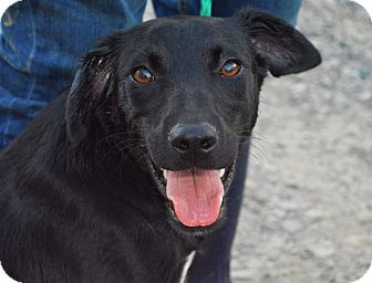 Border Collie/Labrador Retriever Mix Dog for adoption in Mayflower, Arkansas - Fraya