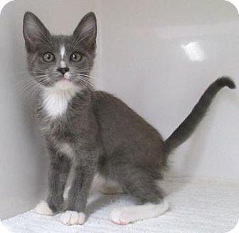 Domestic Shorthair Kitten for adoption in Red Bluff, California - Kizmit