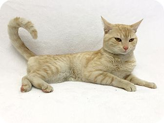Domestic Shorthair Cat for adoption in Mission Viejo, California - Osborn