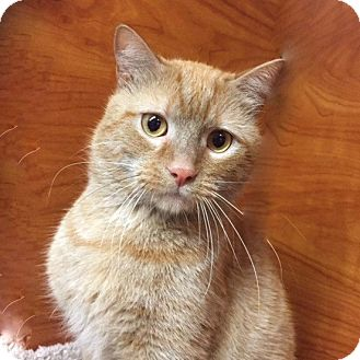 Domestic Shorthair Cat for adoption in Long Beach, New York - Emu