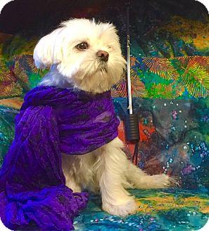 Maltese/Shih Tzu Mix Dog for adoption in Irvine, California - Holly