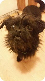 Affenpinscher/Brussels Griffon Mix Dog for adoption in Rathdrum, Idaho - Bella