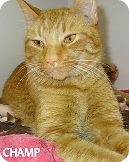 Domestic Shorthair Cat for adoption in Lapeer, Michigan - CHAMP--BEAUTY!NEEDS A HOME NOW