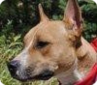 American Staffordshire Terrier Mix Dog for adoption in Portola, California - Maggie