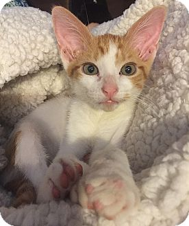 Domestic Shorthair Kitten for adoption in Tampa, Florida - Tigger