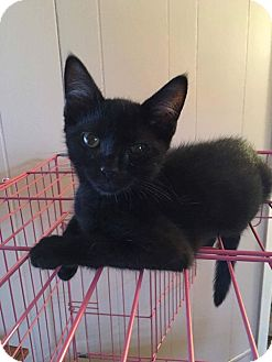 Domestic Shorthair Kitten for adoption in Old Bridge, New Jersey - Furball