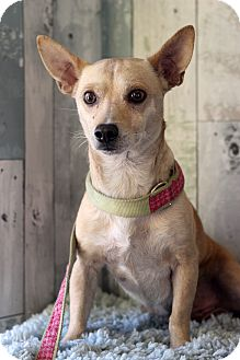 Chihuahua Mix Dog for adoption in Waldorf, Maryland - Trooper