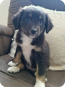 Terrier (Unknown Type, Small) Mix Puppy for adoption in San Dimas, California - Milo