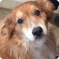 Adopt A Pet :: Copper - Petaluma, CA