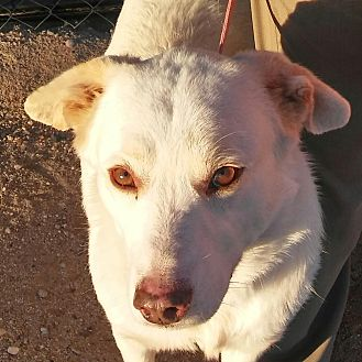 Shepherd (Unknown Type) Mix Dog for adoption in Phoenix, Arizona - Jack Jack