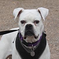 Boxer Dog for adoption in Denver, Colorado - Franklin