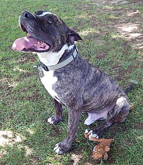 American Staffordshire Terrier/Staffordshire Bull Terrier Mix Dog for adoption in West Sand Lake, New York - Jacob (65 lb) Love Bug