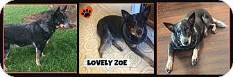 Blue Heeler Mix Dog for adoption in Cambridge, Ontario - Zoe