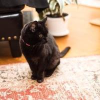 Adopt A Pet :: Samantha - Seattle, WA
