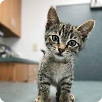 Adopt A Pet :: Baby Kitten - Brea, CA