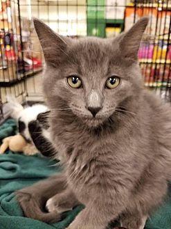 Russian Blue Kitten for adoption in Rosamond, California - Scooter