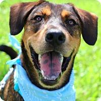 Adopt A Pet :: Tiger - San Ramon, CA