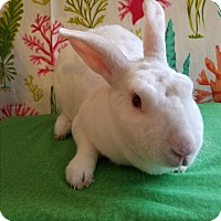 Rex Mix for adoption in West Palm Beach, Florida - Snowy