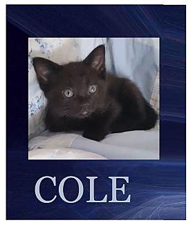 Domestic Shorthair Kitten for adoption in Wichita, Kansas - Cole