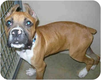 Boxer Puppy for adoption in San Clemente, California - MAX