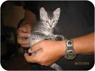 Domestic Shorthair Kitten for adoption in Libby, Montana - Fuzzy