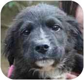 Golden Retriever Mix Puppy for adoption in Portland, Maine - Tanner