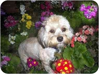 Poodle (Miniature)/Lhasa Apso Mix Dog for adoption in Los Angeles, California - MANDEE