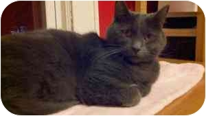 Domestic Shorthair Cat for adoption in Manalapan, New Jersey - Elvis