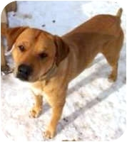 Labrador Retriever Mix Dog for adoption in Colorado Springs, Colorado - OSCAR