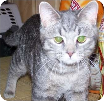 American Shorthair Cat for adoption in Antioch, Illinois - Crush