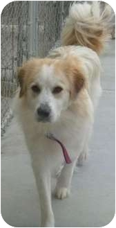 Shepherd (Unknown Type)/Golden Retriever Mix Dog for adoption in Grants Pass, Oregon - Jasmine