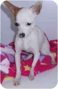Chihuahua Mix Dog for adoption in Yuba City, California - Tiny Tim
