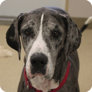 Great Dane Dog for adoption in Naperville, Illinois - Princess 2