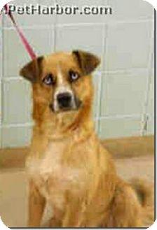 Husky/German Shepherd Dog Mix Dog for adoption in Beacon, New York - Precious