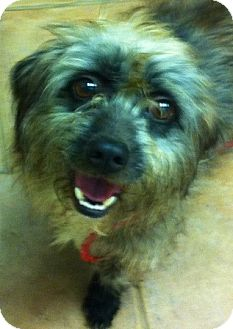 Cairn Terrier/Poodle (Miniature) Mix Dog for adoption in Oswego, Illinois - Sebastian