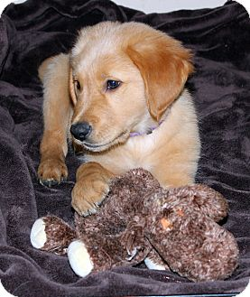 Labrador Retriever/Golden Retriever Mix Puppy for adoption in West Milford, New Jersey - BREWSTER- pending